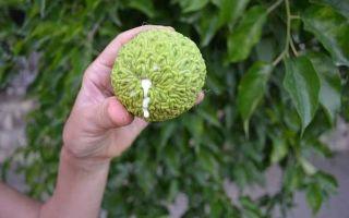 Адамово яблоко: какие болезни им можно лечить, описание, состав и лечебные свойства, приготовление и применение настойки, польза и вред плодов