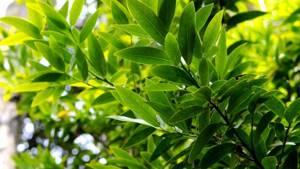 Чистка суставов лавровым листом: польза от целительного растения для человека, народные рецепты и правила лечения, противопоказания
