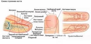 Ушиб ногтя на руке и ноге: что делать, первая помощь, чем лечить народными и аптечными средствами, как минимизировать болевой эффект