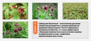 Сабельник для суставов: свойства и польза растения, лекарственные формы и правила применения для лечения, народные рецепты и противопоказания