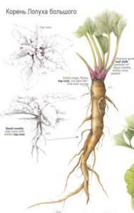 Лечим подагру при помощи лопуха: польза и вред растения, рецепты средств для приема внутрь и наружнего применения, основные особенности использования и противопоказания