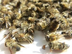 Лечение суставов пчелами: правила приготовления лекарства и народные рецепты, использование подмора и противопоказания, настойка для приема внутрь